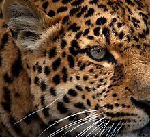 Leopard Focus by Bobby McLeod
