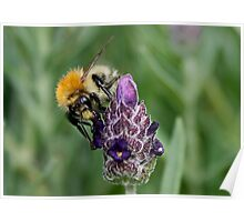 Bee & Lavender Poster