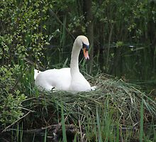 Swan on Nest  by Barry Norton