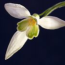 Snowdrop by Chris Charlesworth