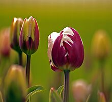 Skagit Valley Tulips.  by Todd Rollins
