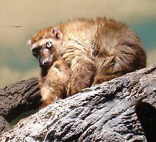 Eye of a Lemur by Marmadas