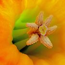 Macro Daffodil by Chris Charlesworth