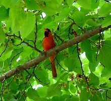 Cardinal in the Mulberry Tree by LauraElizabeth