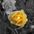 Yellow Rose by TerraChild