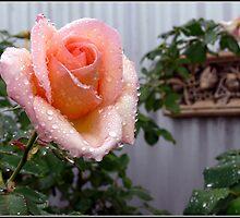 Apricot Nectar by Ruth Anne  Stevens
