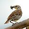 Western Meadowlark - Insectivore by Ryan Houston