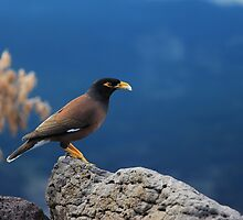 the beauty of myna by weirdoodle