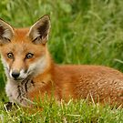 Fox cub by Ann Heffron