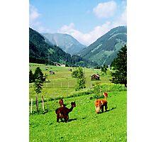 Tirol Llamas Photographic Print