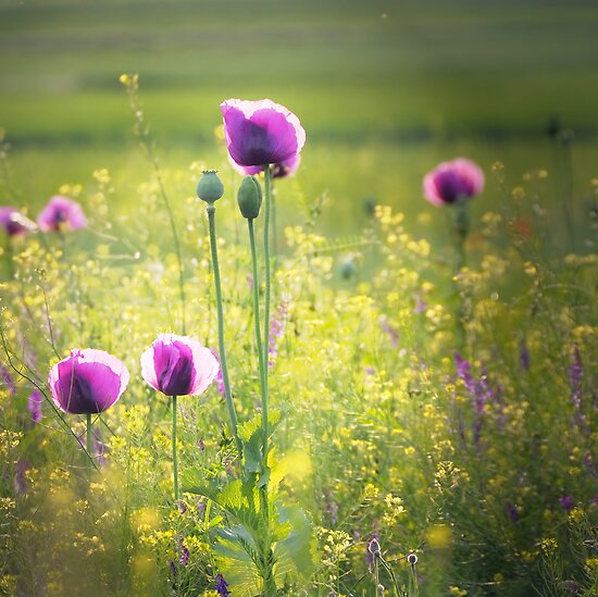 purple poppies by Dan Shalloe