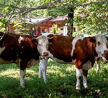 Cowbells, Cow Belles and Bulls by kevin smith  skystudiohawaii