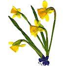 Spring Fling '06 - DAFFODILS by memac