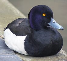 A Tufted Duck by AARDVARK