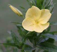 evening primrose by Christopher  Ewing
