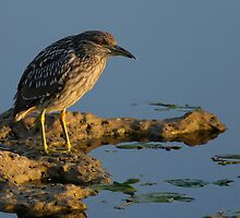 Black-Crowned Night-Heron (Immature) by Denis Wagovich