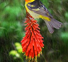 Tanager Meets Red Hot Poker by digitalmidge
