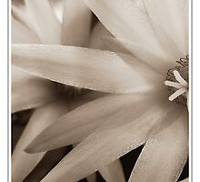 Sepia Star Flower by Stephanie Hillson