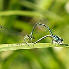Mating Damselflies by Tawny