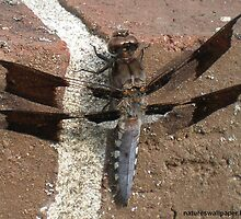 Dragonfly With See Through Wings by 1greenthumb