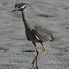 Heron looking for crab  by kathy s gillentine
