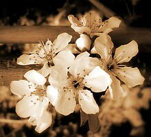 Blossom .. by Kate Towers IPA