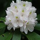 Rhododendron by Christopher  Ewing