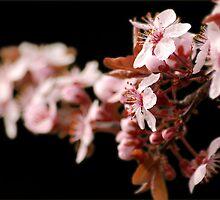 Plum Blossoms II by Ryan Houston