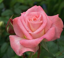 Rich pink rose by LoneAngel