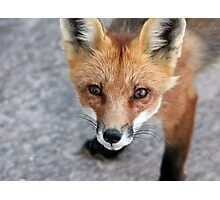 Please Feed Me - Red Fox Photographic Print