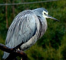 White Faced Heron by Tom Newman