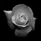 White Rose in B&W by John Newson