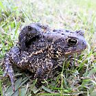 Baby Toad getting a ride on Mommy Toad! - Animal and Nature Photography by Barberelli