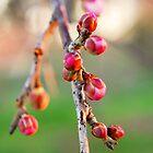 Cherry Blossom by Bernard Franken