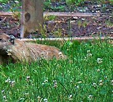 Mr. Goundhog by Judi Taylor