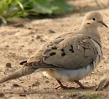 Mourning Dove by Ryan Houston