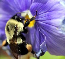 Bumble Bee on Pansy by mikrin