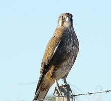 Brown Falcon by Biggzie