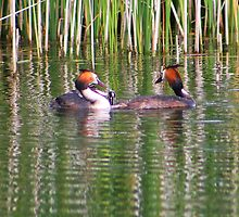 Young grebe fighting over fish........ by jdmphotography