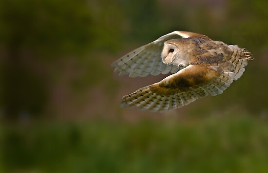 Barn owl by greenbunion