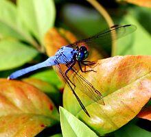 Blue-Winged Wonder by Jeff J.
