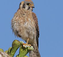 American Kestrel Female #2 by tomryan