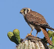 American Kestrel Female #1 by tomryan