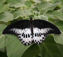 Black and White Butterfly by Fabio Passaro