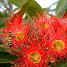 Red Flowering Gum and Visitor by picketty