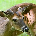 Buck with velvet at Cades Cove by John Wright