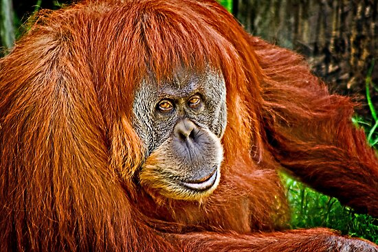 Orangutan Stare by Scott Ward