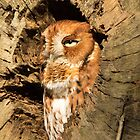 Eastern Screech Owl up Close by imagetj
