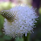 Bear Grass by Jill Doyle