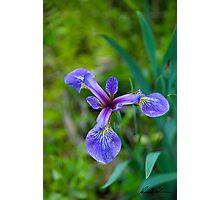 Iris Setosa Photographic Print